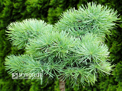 Abies concolor Piggelmee