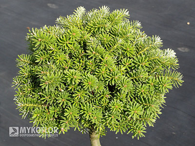 Abies koreana Kristallkugel