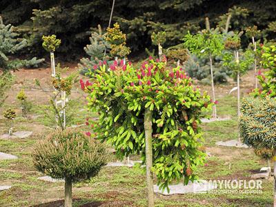 Picea Abies Pusch świerk Pospolity Pusch Mykoflor Rośliny Z