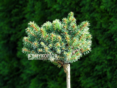 Picea abies Roth