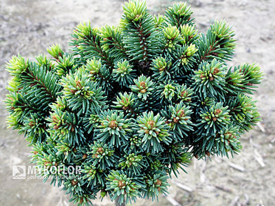 Picea abies Suncrest